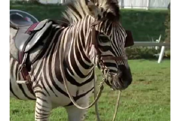 horse zebra youtube